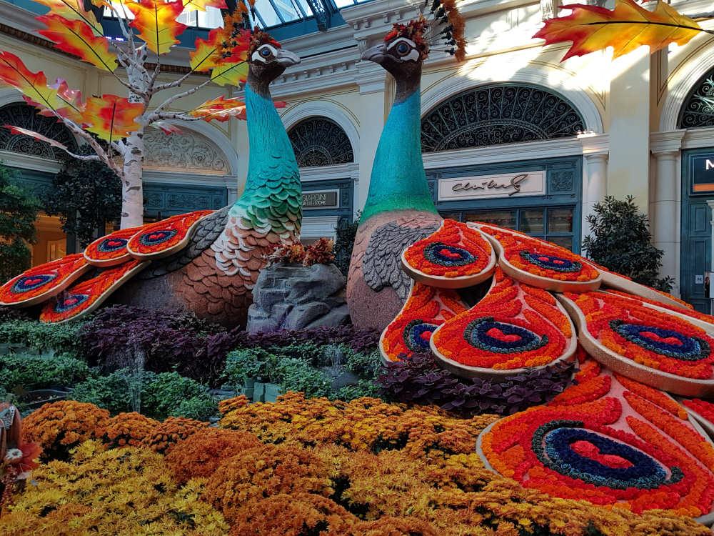 Prachtige Pauwenin het Bellagio Conservatory en Botanical Gardens